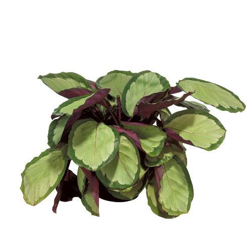 Plants - Calathea