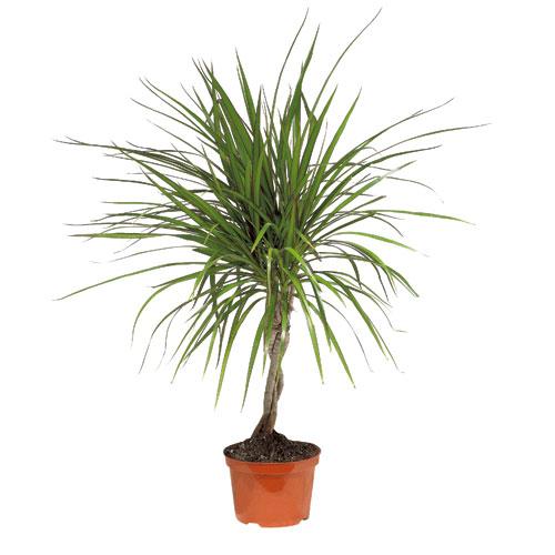 Plants - Braided Marginata