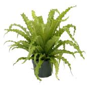 Bird Nest Fern - 7'' Pot