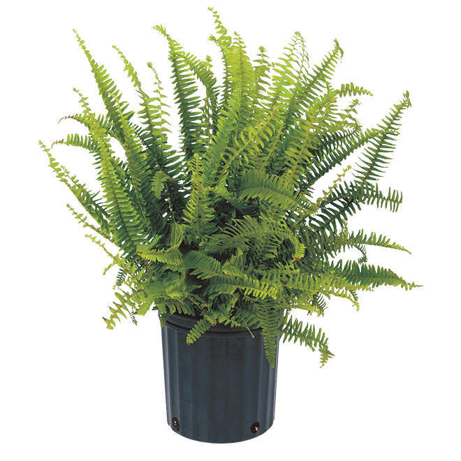"Plants - ""Kimberly"" Fern - Assorted"