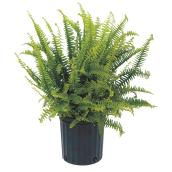 "Plants - ""Kimberly"" Fern - Assorted"