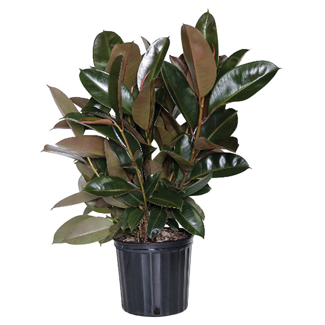 Costa Nursery Quot Ficus Burgandy Quot Rubber Plant Fy10 Loose Rona