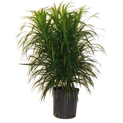 Plantes - Buisson « Anita »