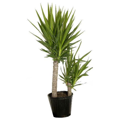 Costa Nursery Plantes Arbuste Yucca Cane Yu01 Loose Rona