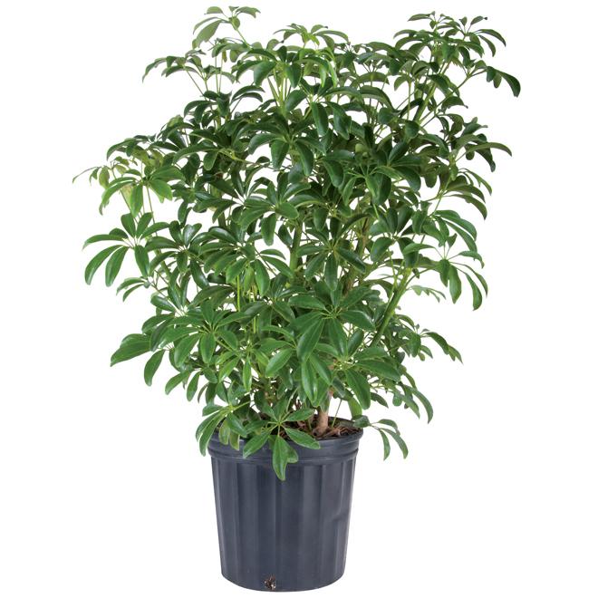 """Plants - """"Schefflera Capella"""" Bush"""