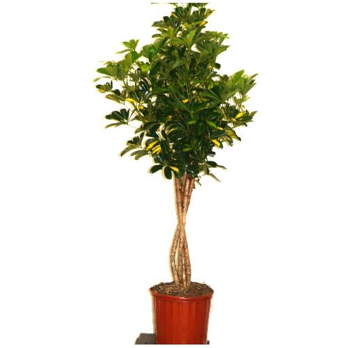 Arboricola Capella tressé, pot de 10''