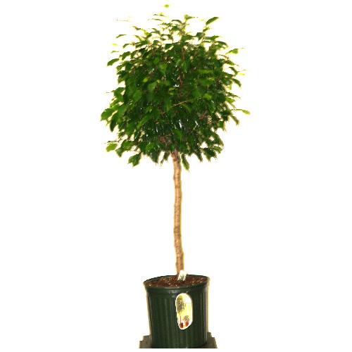Ficus Benjamina tréssé, 10''
