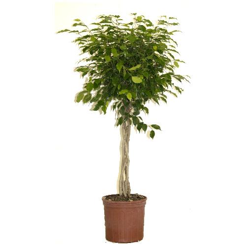 Ficus tressé