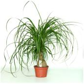 Ponytail Palm - 10'' Growing Pot