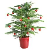 Decorative Norfolk Pine - 6-in