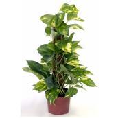 Golden Pothos Totem Plant - 7'' Growing Pot