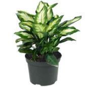 Dieffenbachia Camille - 6'' Pot