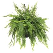 """Boston"" Fern"