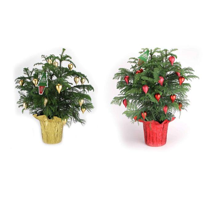 Norfolk Decorative Pine - 4-in