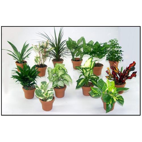 "Foliage Plant - 4"" - Assorted"