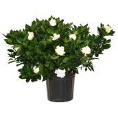 Bush Gardenia - 10