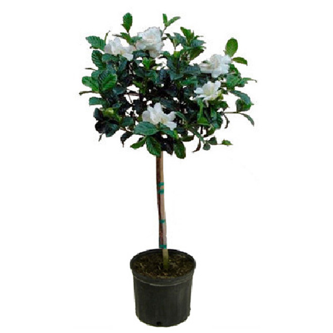Standard Gardenia - 10-in Pot