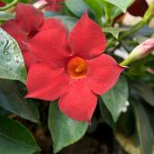 "Climbing Mandevilla Plant on Lattice - 10"" - Crimson"
