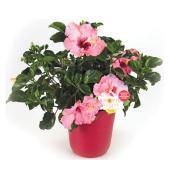 Hibiscus en buisson «Tropic escape», assorti