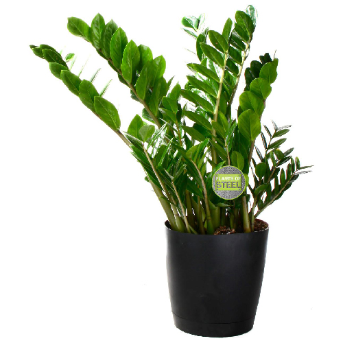 COSTA NURSERY Plante Tropical PSR1B