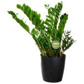 Plante tropical