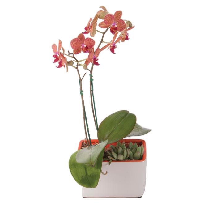 """Orchidée avec plante succulente, pot en plastique, 3,5"""""""