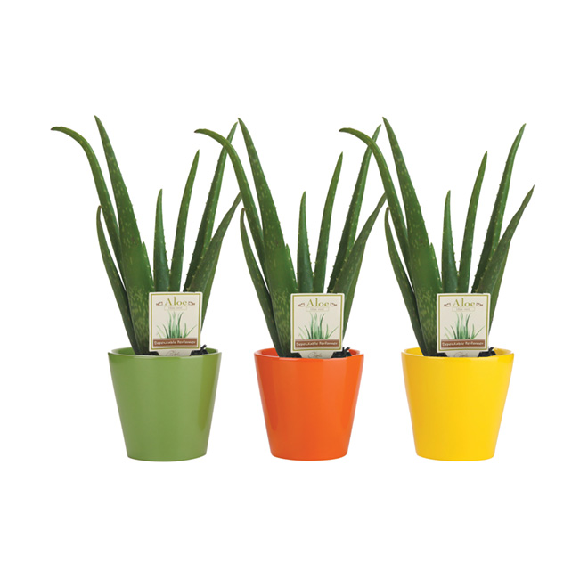 Aloe Vera - 4-In Pot - Assorted