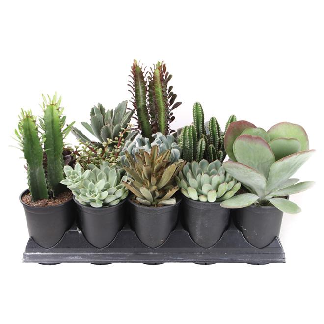 Assorted Succulent - 5-in