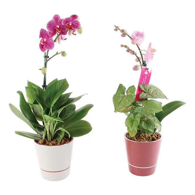 """Orchidée, 5"""""""