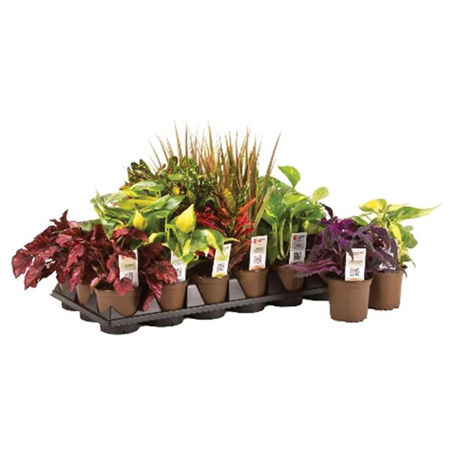 "Plante tropicale, 3,8"""