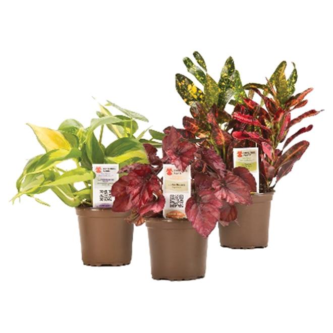 Plante d'intérieur assortie, pot de 4,8''