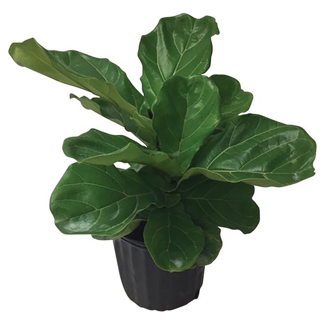 """Ficus lyrata « figuier lyre », 10"""", vert foncé"""