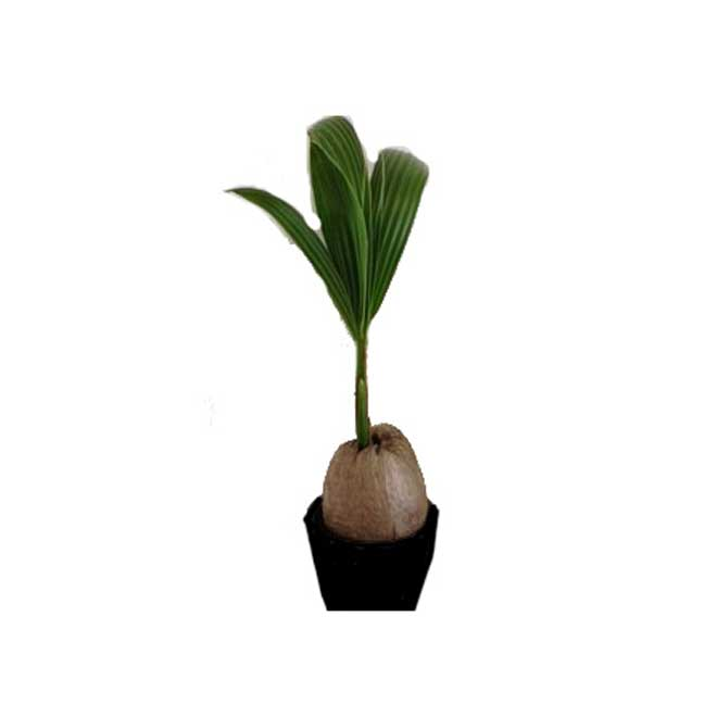 Coconut in Grower Pot - 6""