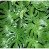 Assorted Philodendron - 10'' Grower Pot