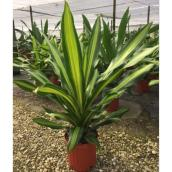 Dracaena, Golden Heart - 10 po