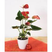Anthurium, pot en céramique de 4 po, assorti