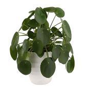 """Pilea « plante à monnaie chinoise », pot de céramique, 6"""""""