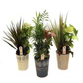 Choice of Three Foliage Gardens - 6""