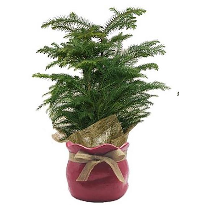 Norfolk Pine - 4-in Ceramic Planter