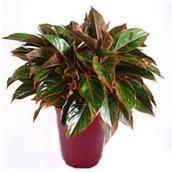 Red Aglaonema - 10'' Pot