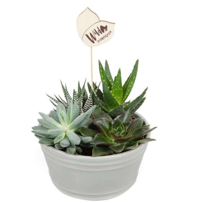 """Jardin de plantes succulentes, 7"""", pot en céramique"""