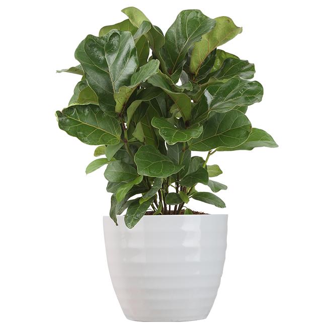 Ficus Bambino - Tropical - 6'' Ceramic Pot