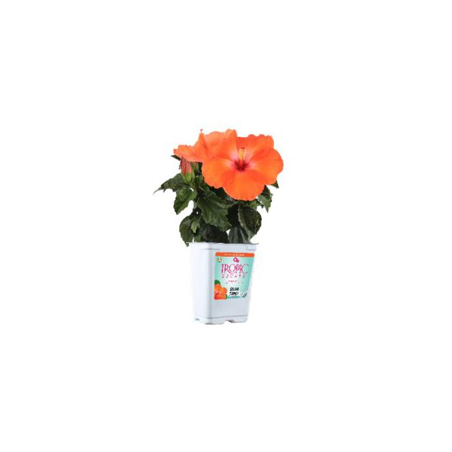 Assorted Hibiscus Bush - 4-in Pot