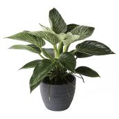 Birkin Philodendron 6-in