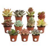 Succulentes assorties mini 2 po