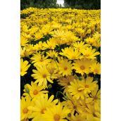 Fleurs annuelles assorties, pot de 4,5''