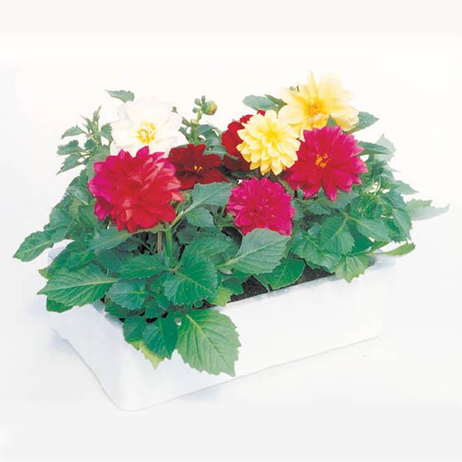 Serres Noel Wilson - Assorted Annuals - 6/Pack