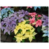 "Poinsettia en pot de plastique, 12"", assorti"