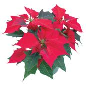 Poinsettia, Serres Noel Wilson, pot de 8 po, couleurs assorties