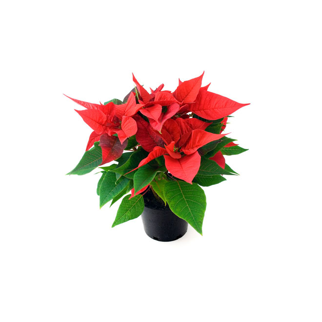 "Poinsettia 4"" assortis"
